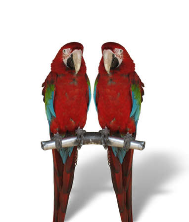 two colorful parrots isolated on white background photo