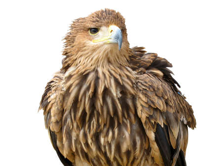 young brown eagle sitting on a support isolated over white background photo