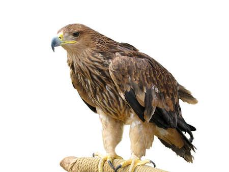 a large bird of prey: giovane Aquila marrone, seduto su un supporto isolato su sfondo bianco