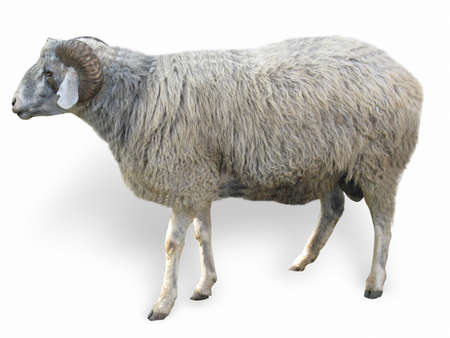 Sheep in front of a white background photo