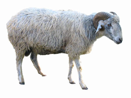 ram sheep: Sheep in front of a white background Stock Photo