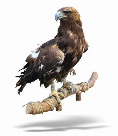 aguila real: joven morena águila posada sobre un soporte aislado sobre fondo blanco Foto de archivo