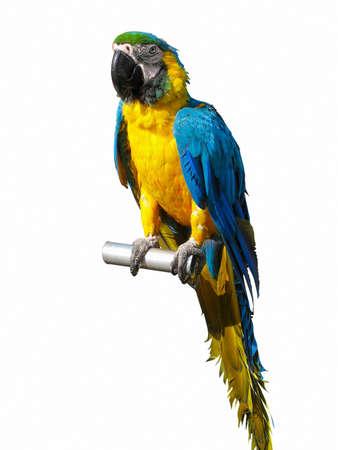 loros verdes: colorido loro azul y amarillo aislado sobre fondo blanco Foto de archivo