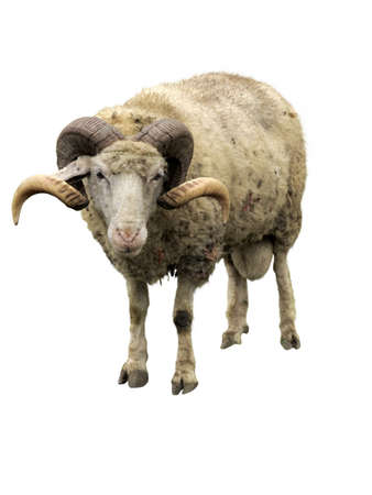 merino: Sheep ram with horns isolated over white background