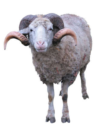 merino: Sheep ram with horns over green grass background Stock Photo