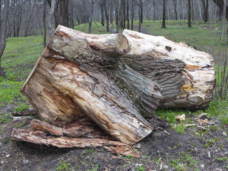 Old wooden stump log isolated in a spring forest photo