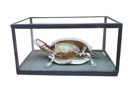 plastron: Dissected turtle with skeleton inside isolated over white background