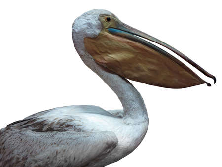 pelicans: White pelican standing proud isolated over white background