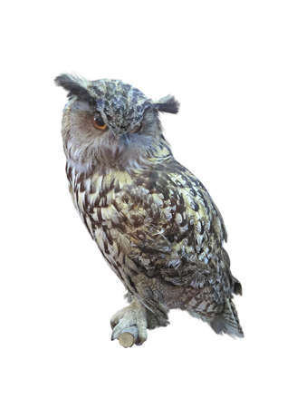 Great Horned Owl, Bubo Virginianus Subarcticus, isolated over white background photo