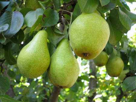 Rich harvest - branch with ripe juicy pears