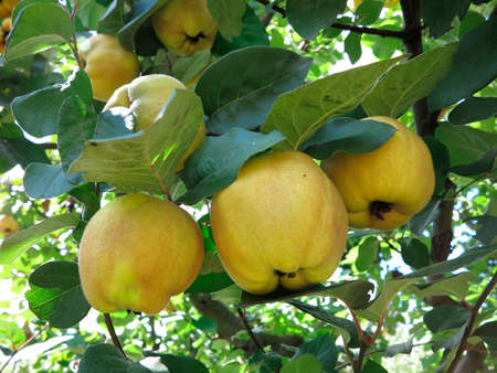 Rich harvest - juice ripe yellow quinces hanging on a branch photo