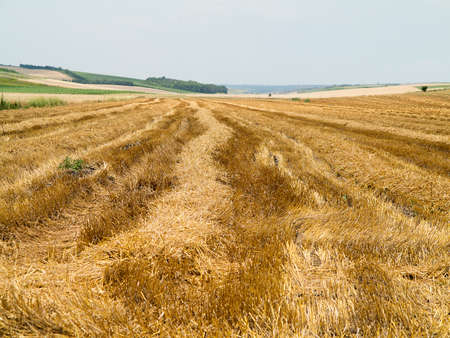 wheatfield: Straw bales in agricultural harvested wheatfield in Europe