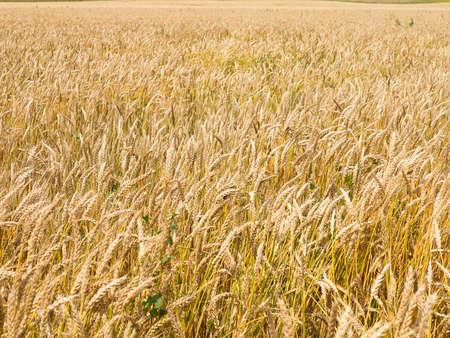 wheatfield: Endles yellow beautifull wheatfield in the summer