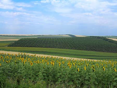 wheatfield: Agricultural landscape - wheatfield, sunflower and gardens in harvest season Stock Photo