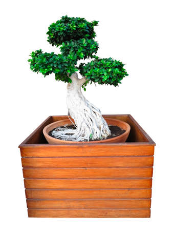 Bonsai tree isolated on white background in wooden tub photo
