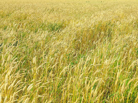 Endles yellow beautifull wheatfield in the summer photo