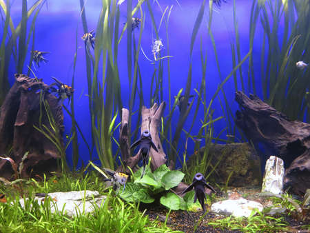 aquascaping: A green beautiful planted tropical freshwater aquarium with fishes Stock Photo