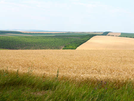 wheatfield: Agricultural landscape - wheatfield and gardens in harvest season