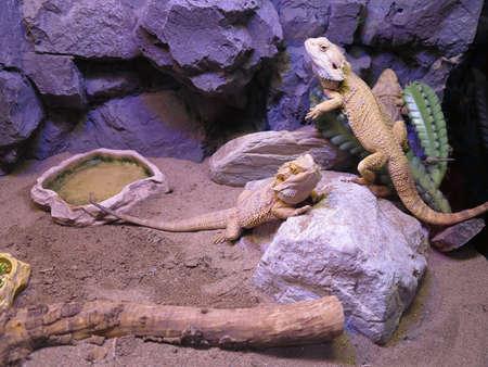 frilled: Beautiful brown lizard family living in terrarium