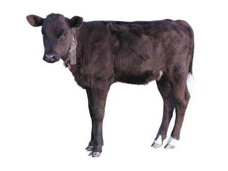 Beautiful black little pretty calf isolated over white background photo
