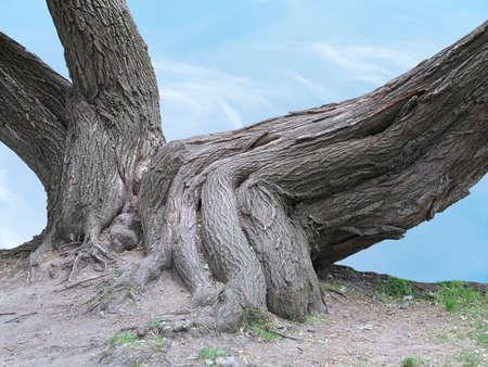 raices de plantas: Enormes raíces de un árbol viejo sobre el fondo de cielo azul