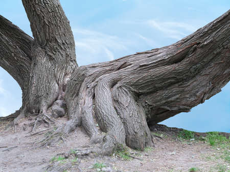 huge tree: Huge roots of an old tree over blue sky background