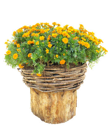 log basket: Bright flowers in wicked basket on cut log isolated over white background