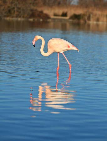 web footed: flamingos
