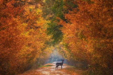 Wild deer (Dama Dama) in beautiful autumn colorful background. Colorful autumn trees in the forest. Stock Photo