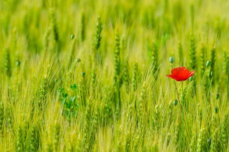 Wild flowers (red poppies) in wheat field, blurred background.