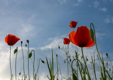 Wild poppies flowers and blue sky background in sunny day, springtime