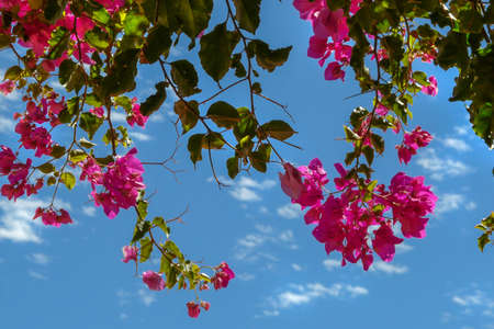 Colorful summer flowers with blue sky background, in Alfama, Lisbon, Portugal.