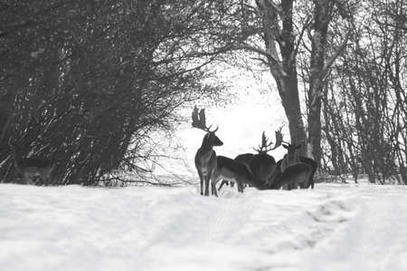 Wild deer (dama dama) in winter landscape, in the forest
