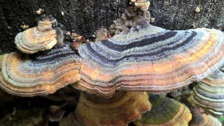 horseshoe mushroom Stok Fotoğraf