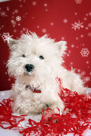 cute westie: White puppy with christmas garland.