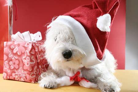 cute westie: White puppy dressed in santa claus costume.
