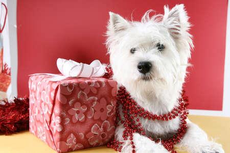 White puppy dressed in santa claus costume. photo