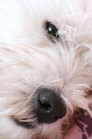 Close-up of westie dog face . photo