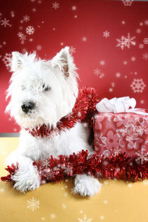 White puppy dressed in santa claus costume.