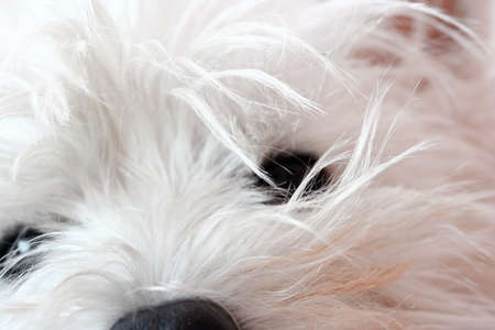 Closeup picture of west highland terrier. photo