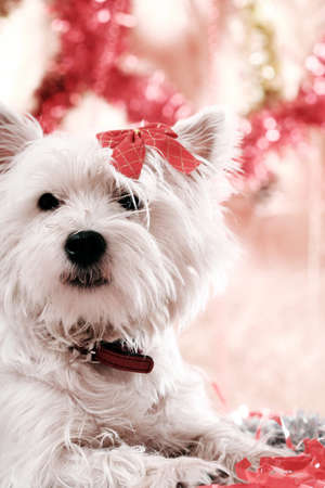 White puppy with red bow. photo