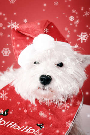 White puppy dresed in santa claus costume. photo