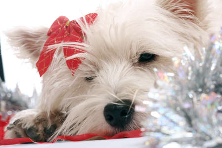 westie: White puppy with red bow.