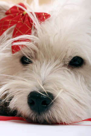 cute westie: White puppy with red bow.