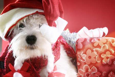 White puppy dressed in santa claus costume. Stock Photo - 11531192