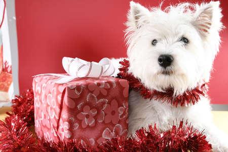 White puppy dressed in santa claus costume. Stock Photo - 16432529