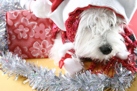White puppy dressed in santa claus costume. photo