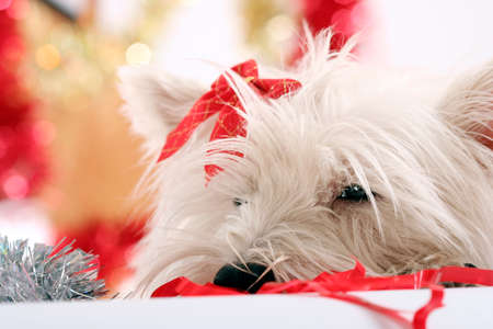 White puppy with red bow.