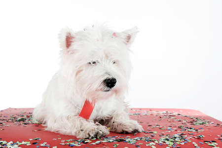 cute westie: West highland white terrier with copy-space note. Stock Photo