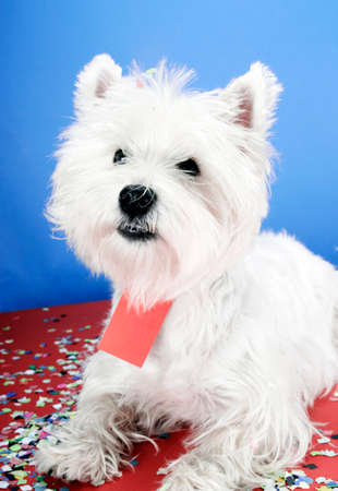 westie: West highland white terrier with copy-space note. Stock Photo
